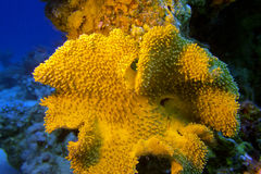 Mushroom leather coral in tropical sea, underwater Royalty Free Stock Photos