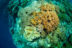 Mushroom leather corals in Banda, Indonesia underwater photo Royalty Free Stock Photo