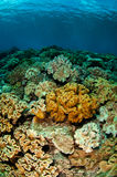 Mushroom leather corals in Banda, Indonesia underwater photo Stock Images
