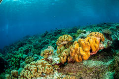 Mushroom leather corals in Banda, Indonesia underwater photo Royalty Free Stock Photography