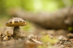 Mushroom on the leaves Stock Images