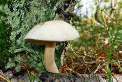 Mushroom leccinum holopus Stock Photos