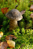 Mushroom Leccinum variicolor. One mushroom Leccinum variicolor in a moss Royalty Free Stock Photos