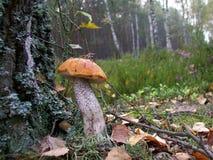Mushroom Leccinum versipelle Stock Images