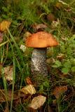 Mushroom Leccinum versipelle Stock Image