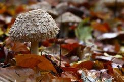 Mushroom , lepiota rhacodes. A mushroom , lepiota rhacodes on the forest floor , covered in fallen leaves Royalty Free Stock Photos