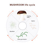 Mushroom life cycle Royalty Free Stock Image