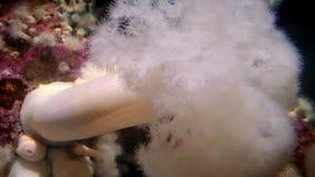 Mushroom-Like Sea Anemone Underwater stock video footage