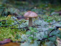 A mushroom. A little birch bolete in a big forest Stock Photos