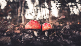 Mushroom. Little walking in forest. i found two nice mushroom and take picture at autumn Stock Photos
