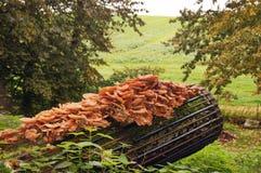 Mushroom on log. Yellow tree mushrooms grow on a log royalty free stock photo