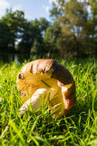 Mushroom in a meadow Stock Image