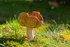 Mushroom on a meadow Royalty Free Stock Photography