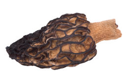 Mushroom morel. Photographed with increase Stock Photo