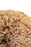 Mushroom morel on a white background. Macro Stock Image