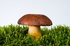 Mushroom on moss Royalty Free Stock Photo