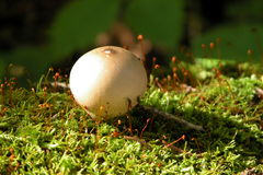 Mushroom on Moss Royalty Free Stock Photos