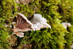 Mushroom among moss Royalty Free Stock Photography