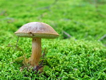 Mushroom on moss Stock Images