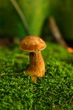 Mushroom in the moss Stock Images