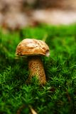 Mushroom in the moss Royalty Free Stock Image