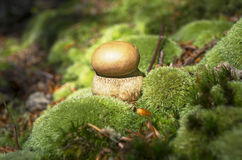 Mushroom on moss Royalty Free Stock Images