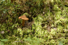 Mushroom in moss Royalty Free Stock Images