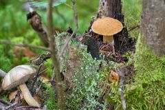 Mushroom moss growing on a stump in the autumn forest. Edible fungus grew in the forest, autumn harvesting, search, hunting. A beautiful hat and a thick leg are stock image