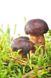 Mushroom in moss Royalty Free Stock Photos