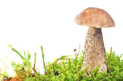Mushroom in moss Stock Images
