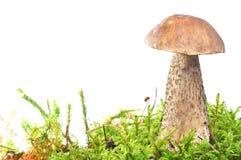 Mushroom in moss Stock Images