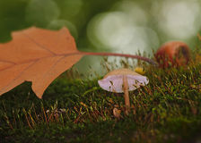 Mushroom in moss with leaves and acorn Stock Photos