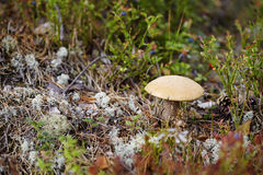 Mushroom among moss and lichen Stock Photos
