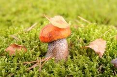 Mushroom in moss Stock Photography