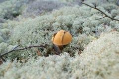 Mushroom - a mossiness mushroom Stock Image