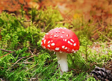 Mushroom mushroom in a forest glade. Royalty Free Stock Images