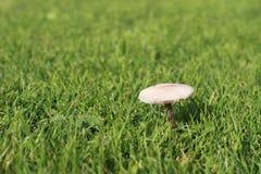 Mushroom Mycena pura Royalty Free Stock Photo