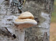 Mushroom, nature, forest, fungus, tree, autumn, mushrooms, fungi, food, brown, bark, macro, toadstool, plant, moss, edible, wood, stock photos