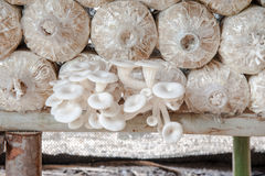 Mushroom nearly picking in farm. A kind of thai mushroom called hed nang fa Royalty Free Stock Images