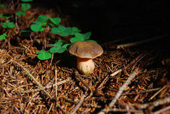Mushroom in needles Stock Photo