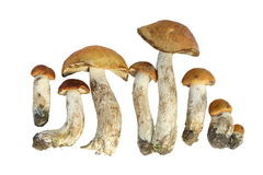 Free Mushroom Of Shaggy Boletus Royalty Free Stock Photography - 5277047