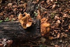 Mushroom on old tree. A mushroom growing on an old tree during fall Stock Image