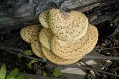 Mushroom On A Tree Stock Photography
