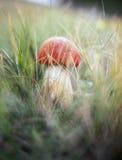 Mushroom. Royalty Free Stock Image