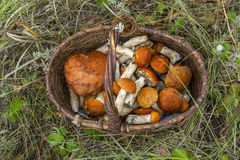 Mushroom orange-cap boletus in the basket. Royalty Free Stock Images