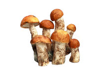 Mushroom orange-cap boletus and boletus Royalty Free Stock Images