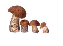 Mushroom orange-cap boletus and boletus Stock Image