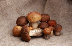 Mushroom orange-cap boletus and boletus Royalty Free Stock Image
