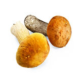 Mushroom orange-cap boletus and cep Stock Photos