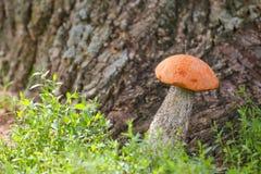 Mushroom orange-cap boletus Stock Photos